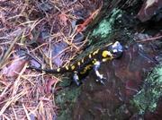 Feuer Salamander liebt Regen