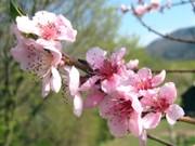 Blüte des Weingartenpfirsich