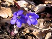 Frühlingsbote 2012