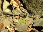 Smaragd Eidechse