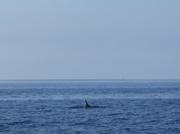 Hai oder Delphin ?