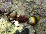 Seeigel mit lebenden Muscheln