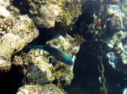 Ein Papageienfisch